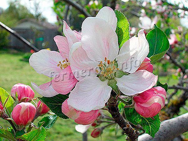 Цветы большие розово-белые, возможен фиолетовый оттенок