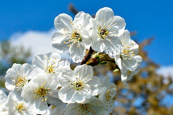 Цветы самоплодной вишни имеют необычное строение