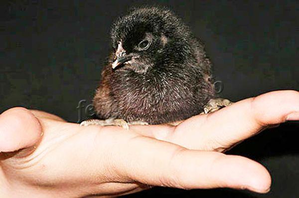 Цыплята Московской черной породы