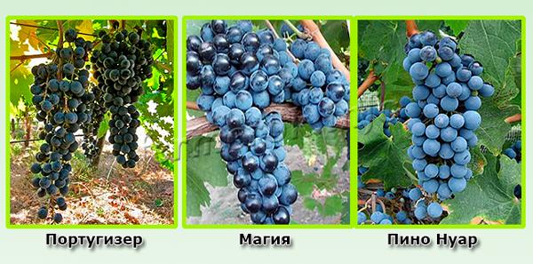 Технические синие сорта винограда