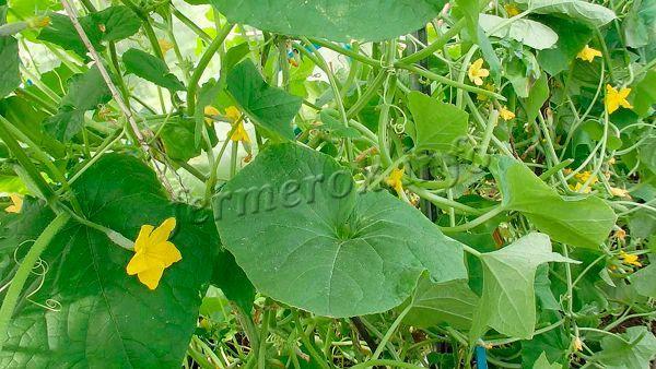 Только контроль роста «направляет» силы огурцов на развитие плодов