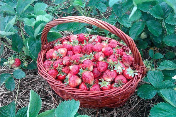 Товарные качества после сбора уже спелой ягоды сохраняются в течение 3 дней