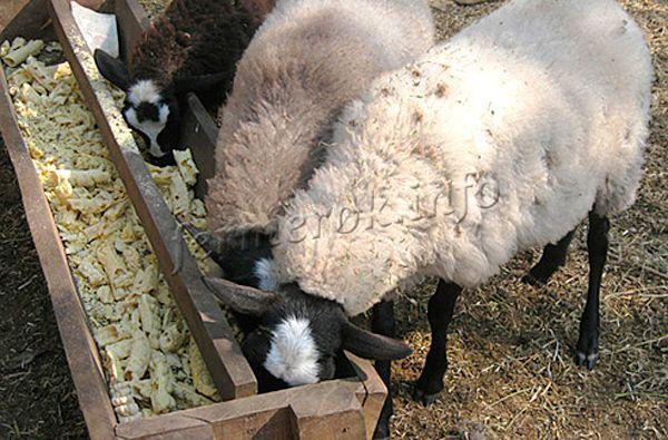 У упитанных овец поверхность тела ровная, они как бочонки, что упрощает стрижку