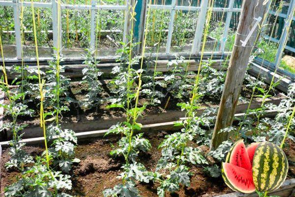 уход за молодыми ростками и уже взрослыми растениями может доставить огороднику немало хлопот
