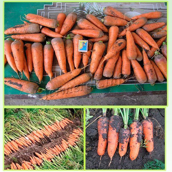 Урожайность 420-540 ц/га или 4,6-11 кг/м. кв