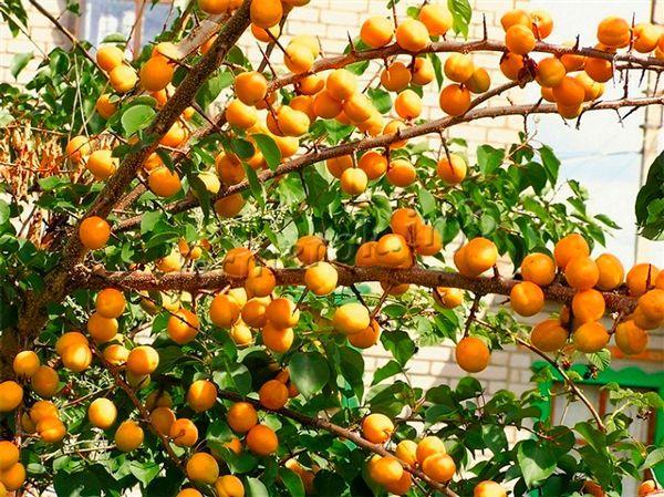 Урожайность краснощекого сорта абрикос при должных условиях достигает 90 кг!