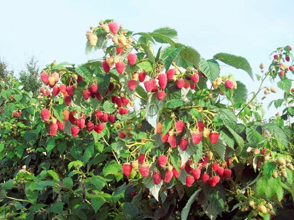 Урожайность малины с каждого растения достигает 4 кг!