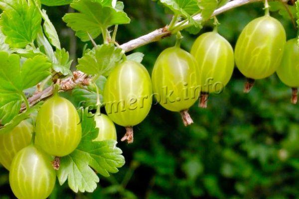Урожайность высокая, регулярная, с куста собирают до 4 кг ягод