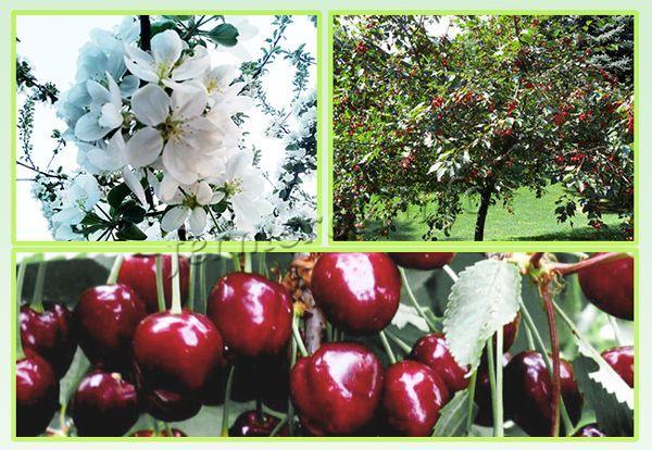 Урожайность взрослого дерева достигает 15-25 кг в зависимости от ухода