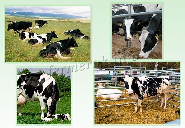 Условия содержания Голштинской породы коров