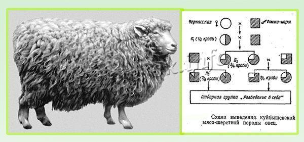 В 1940-х годах селекционеры вывели Куйбышевскую породу овец
