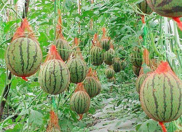 В теплицах арбузы обычно выращивают на шпалере