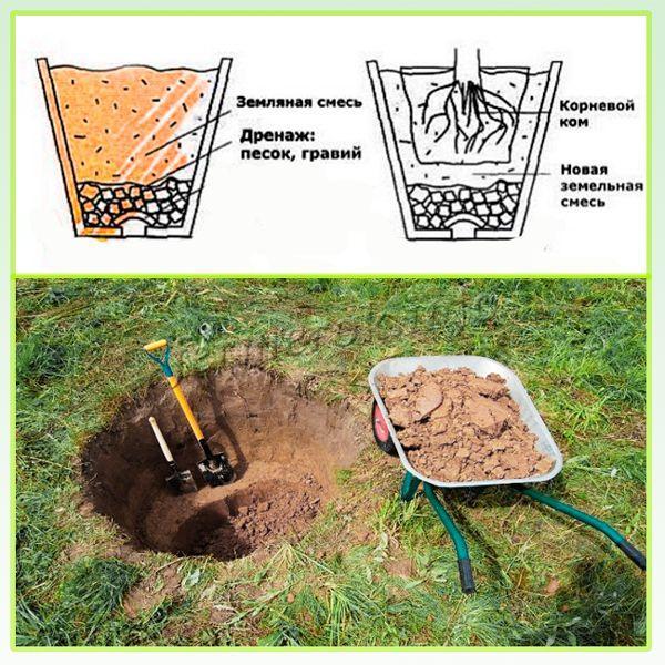 В яму перед посадкой саженца стоит заложить дренаж