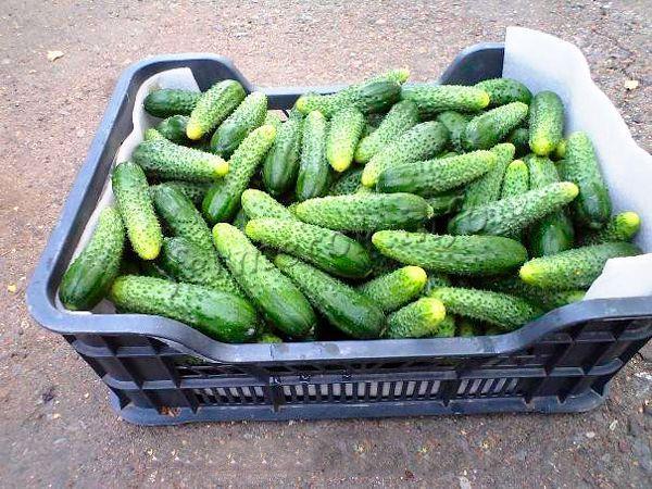 В зависимости от агротехники и места выращивания урожайность колеблется между 8- 20 кг/м