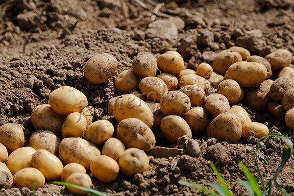 Важно отметить, что от проблемы может уберечь картофель самое банальное просушивание на свету