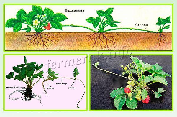 Вегетативное размножение земляники