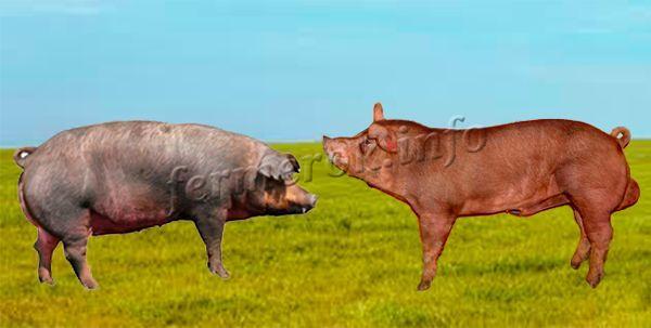 Вес самцов в пределах 300-360 кг, самок – 240-300 кг