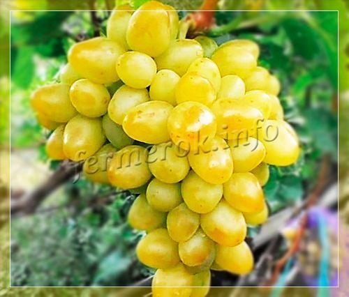 сорт винограда аркадия фото и описание