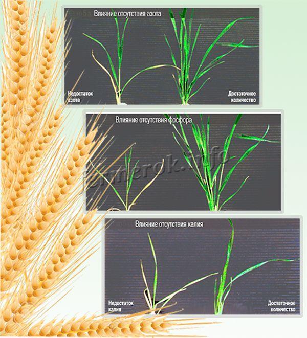 Влияние подкормки на озимую пшеницу
