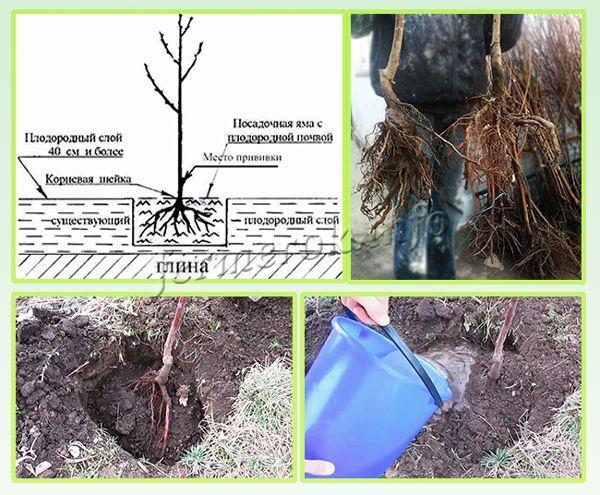 Время развития саженца, будущий урожай, укоренение зависят от качества посадочного материала