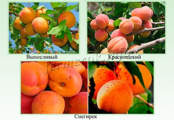 Выносливые сорта абрикос для Подмосковья