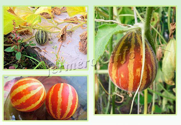 Выращивание Вьетнамской дыни