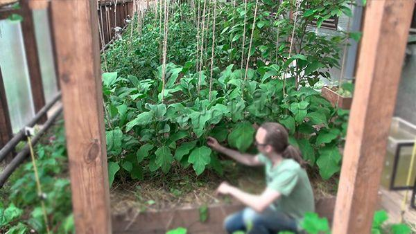 Как правильно выращивать баклажаны 79