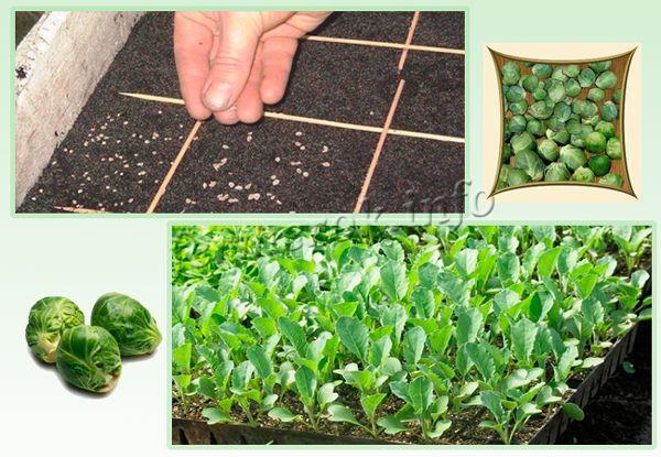 Выращивание брюссельской капусты семенами