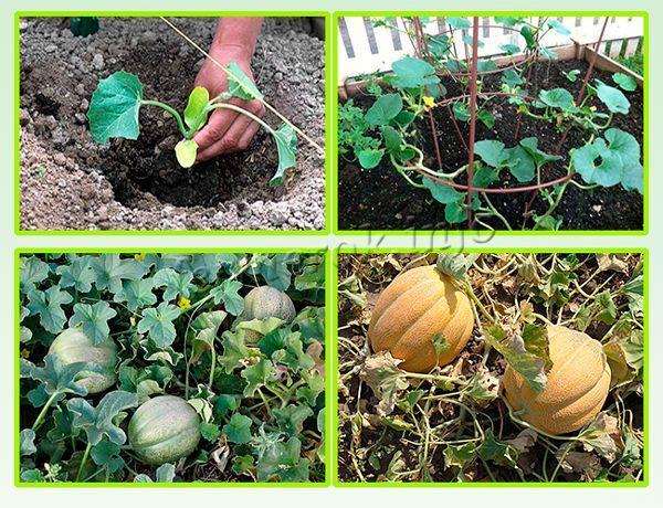 Выращивание дыни Эфиопка