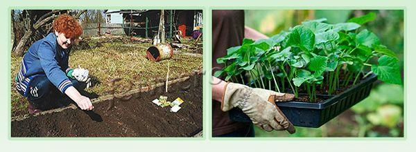 Выращивание кабачков из семян и рассады