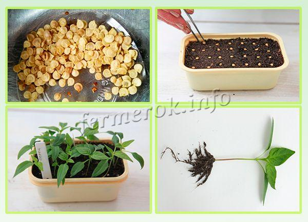 Выращивание рассады перца Богатырь