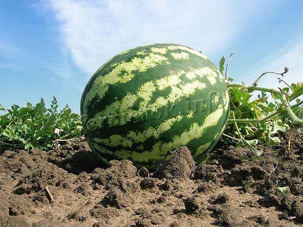 Выращивать можно в закрытом и открытом грунте