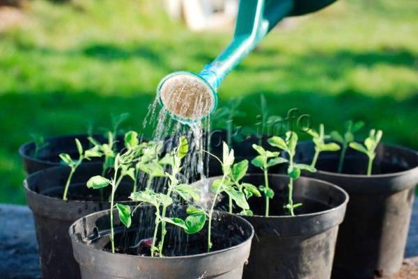 Выращивать сорт проще всего рассадным методом