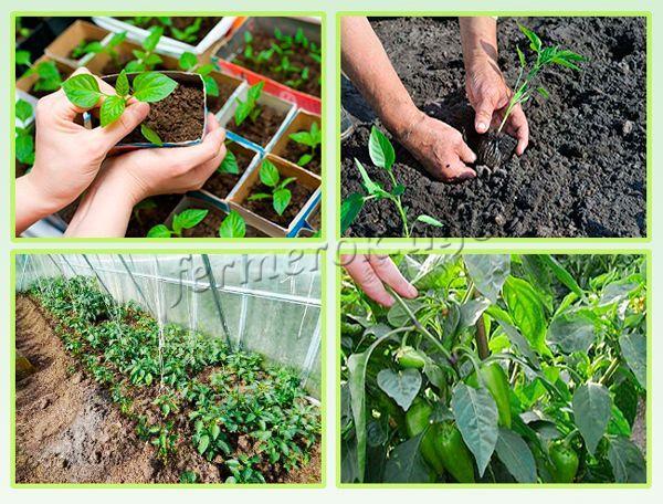 Выращивают перец сорта Ласточка в теплице и в открытом грунте