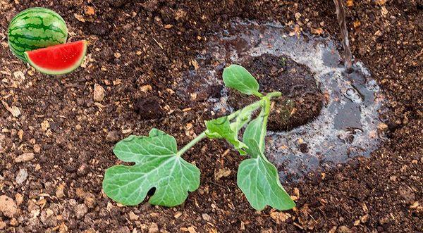 Высадка рассады арбузов в грунт