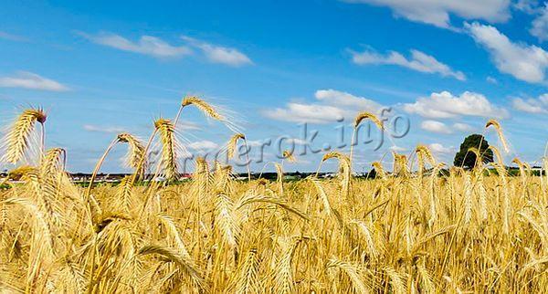 Сажать пшеницу на одном месте можно не чаще чем раз в 2 года