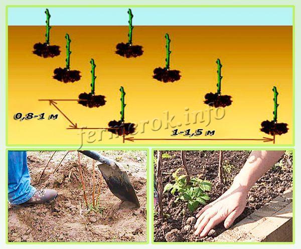 Сажают кусты малины нужно на расстоянии 0,8-1 м друг от друга. Междурядья делают шириной в 1-1,5 метра