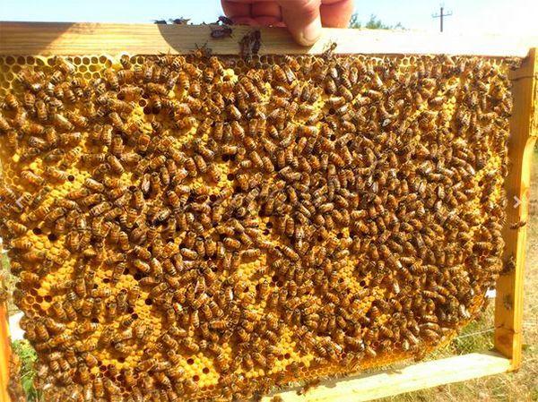 Высокая продуктивность – собирают за сезон очень много меда