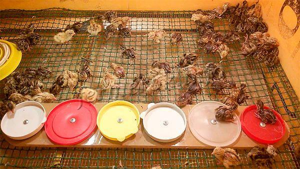 Выводимость птенцов – 85-90%