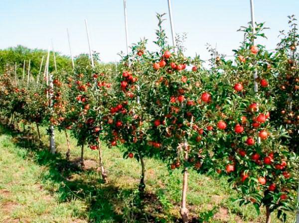 Яблони карликового типа решают проблему отсутствия свободного места