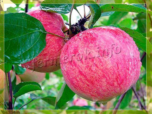 яблоня мельба фото описание