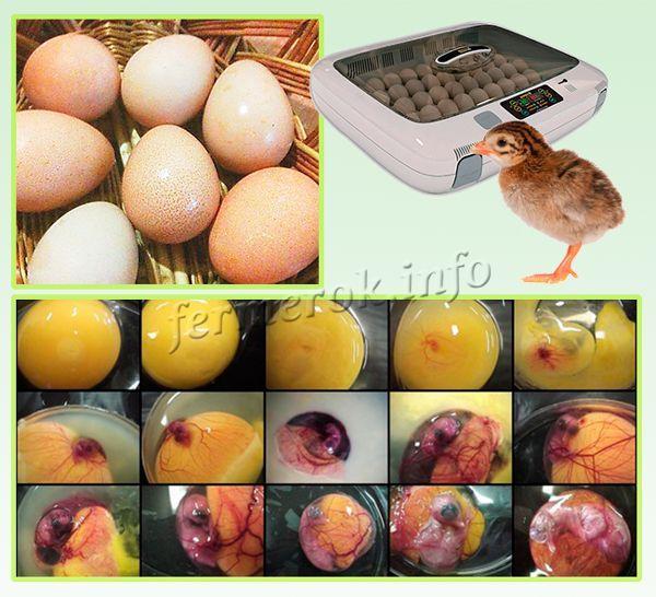 Яйца для инкубации цесарок в домашних условиях собирают до 11 часов утра
