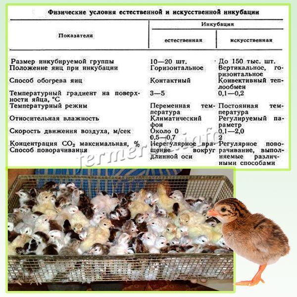 Яйца цесарок очень требовательны к режиму в инкубаторе