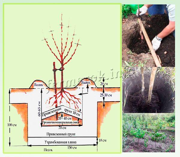 За 2 недели до посадки готовится яма диаметром 60 см и глубиной в 70 см