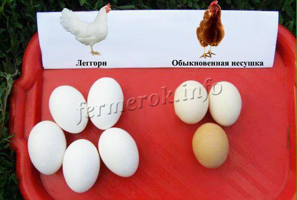 За год несушка Леггорн может дать 300 яиц
