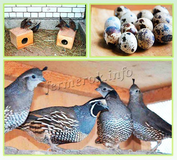 За год одна несушка может дать в среднем 100-110 яичек