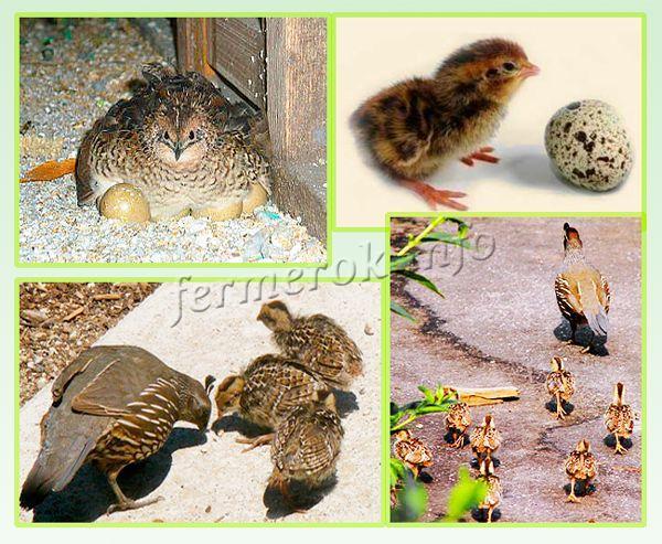 За раз одна самка может высиживать сразу 12 яиц!