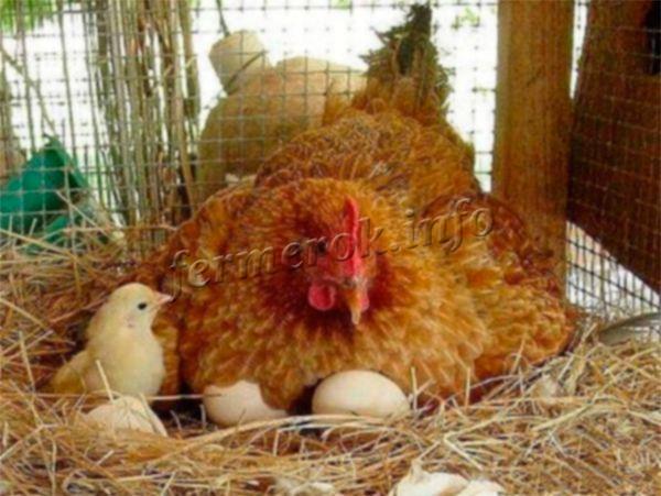За сезон одна курица может вырастить 2 потомства