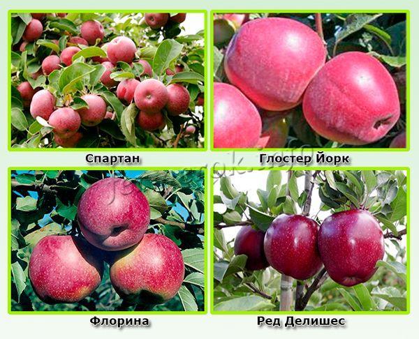 Зимние красные сорта яблок