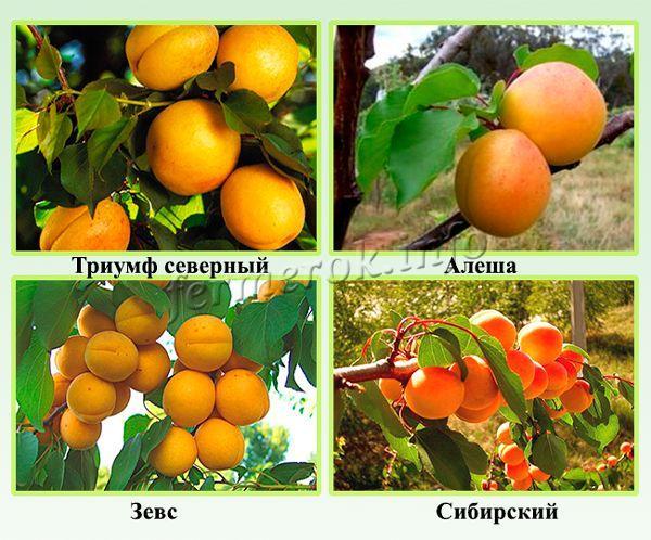 Зимостойкие сорта абрикоса для северных регионов